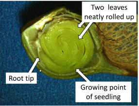 Maple seed cross section labels