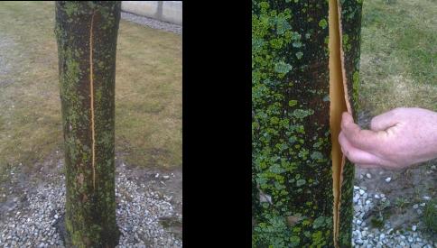 Bark split on sugar maple