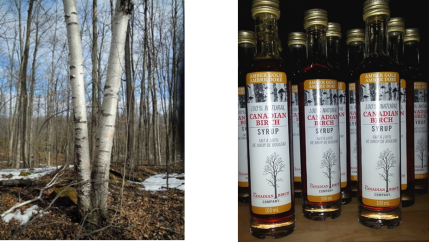 Birch tree and syrup 2