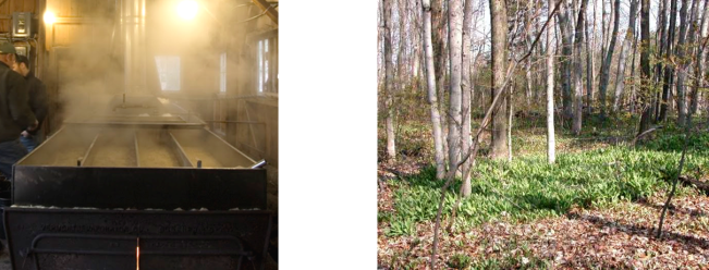 71ff2eb8cbe The Ontario Maple Syrup Production Report on April 24