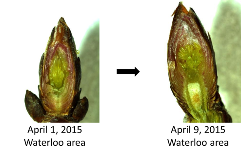 Maple buds dissect 1 - 2