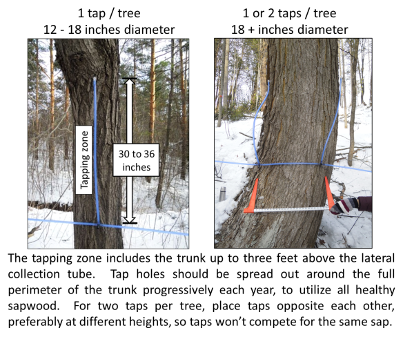 Taps per tree - tapping zone