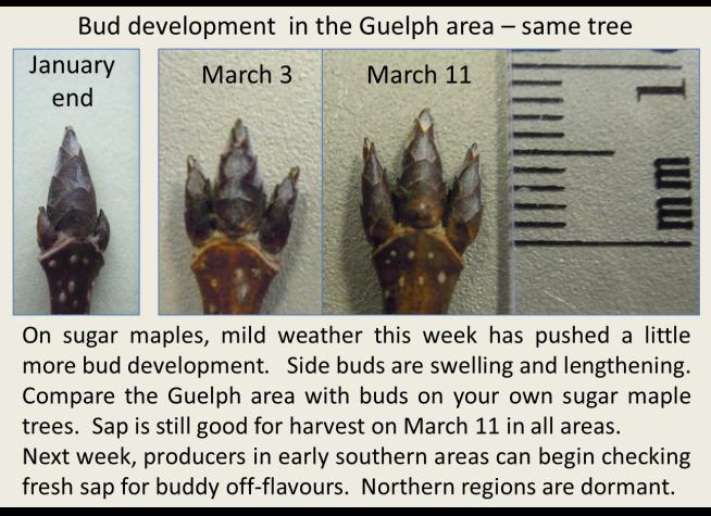 Bud development Guelph March 11 2016