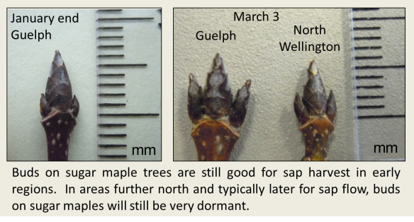 Maple buds March 3 2016