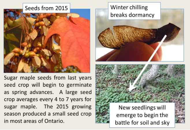 Maple seed germination