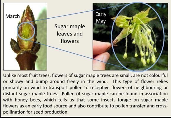 Sugar maple flowers