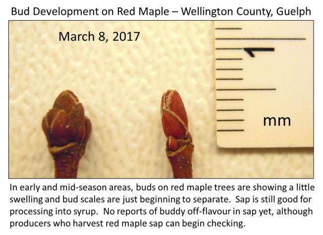 Guelph red maple March 8 final