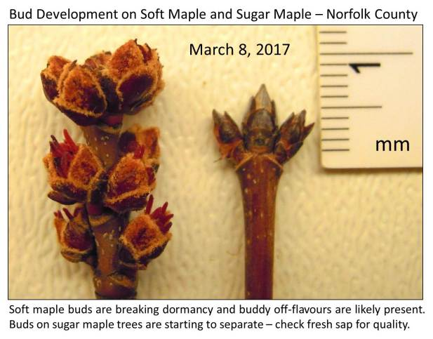 Norfolk Soft and Sugar maple March 10 final