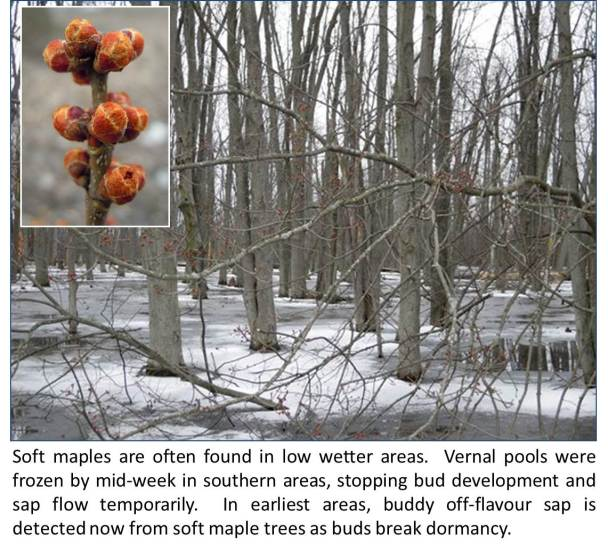 9159a4b33cd Ontario Maple Syrup Production Report for March 24