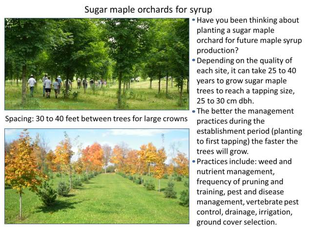 Maple orchards 2017