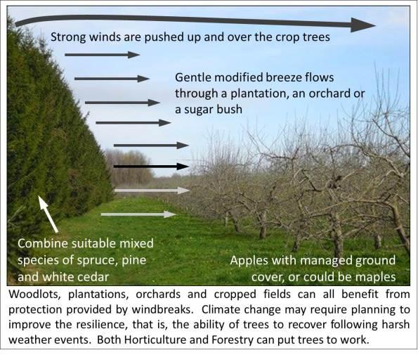 Windbreak protection - apples maple