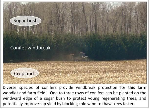 Woodlot windbreak - maple