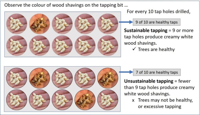 A diagram showing two sets of 10 wood shavings. In the first set of 10, 9 wood shavings are creamy white and one is dark brown. This means trees are healthy. In the second set of 10, only 7 wood shavings are creamy white. This means trees may not be healthy and excessive tapping may have occurred.